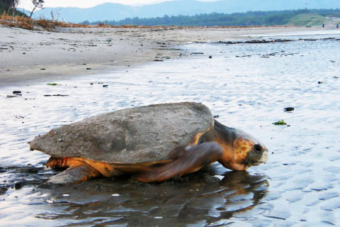 吹上浜のウミガメ(写真提供「吹上浜ウミガメ塾」)