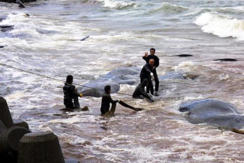 座礁したくじらを救出しようと奮闘する人々(2002年1月)